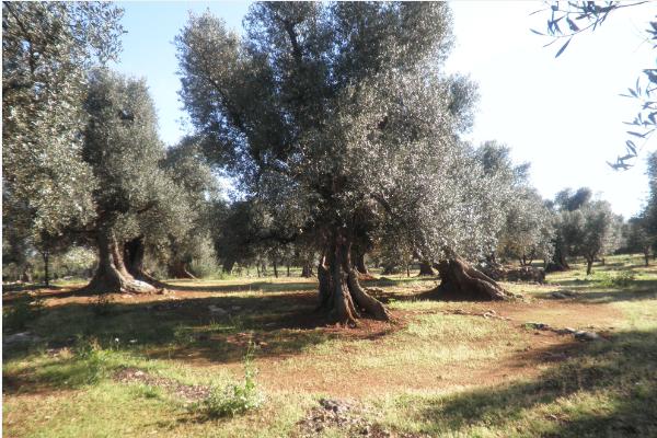 terreno con ulivi secolari per produzione olio biologico in vendita a carovigno