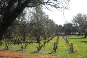 Trullo with olive trees and vineyard for sale in Puglia