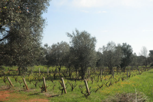 Trullo con ulivi e vigneto in vendita in Puglia
