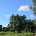 Bygga mark med panoramautsikt och gamla olivträd i Puglia osålda