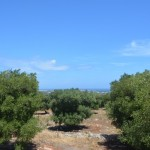 building land with sea view and olive trees for sale in Puglia