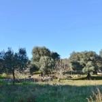 terrain à vendre avec des oliviers dans les Pouilles