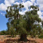8000 sqm land with olive trees for sale in Puglia