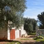 oliviers rustiques pour vendre près de Carovigno dans les Pouilles