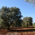 Mark med olivträd till salu i Carovigno